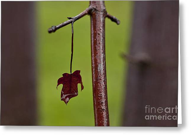 Beads Of Water Greeting Cards - Close-up of water droplet on maple leaf Greeting Card by Jim Corwin