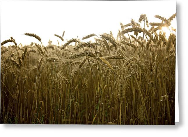 Cornfield Greeting Cards - Close-up of wheat ears. Greeting Card by Bernard Jaubert