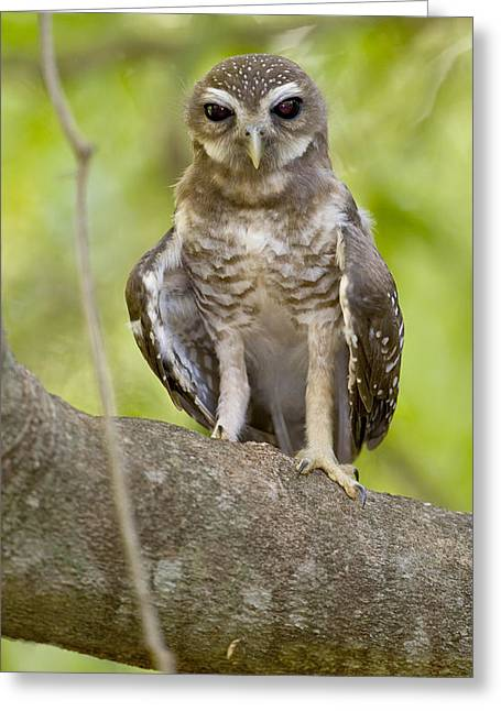 Bird On Tree Greeting Cards - Close-up Of White-browed Hawk Owl Ninox Greeting Card by Panoramic Images