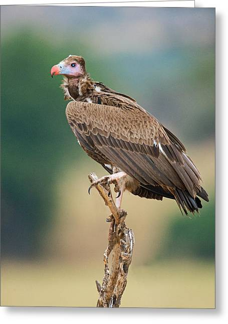 Bird On Tree Greeting Cards - Close-up Of White-headed Vulture Greeting Card by Panoramic Images