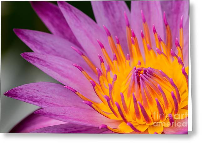 Aquatic Greeting Cards - Close up on pink water lily Greeting Card by Tosporn Preede