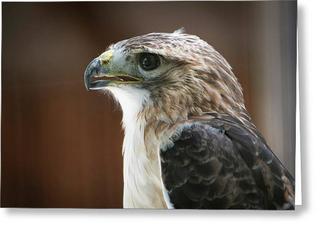 Close-up Portrait Of Hawk With Beak Greeting Card by Sheila Haddad