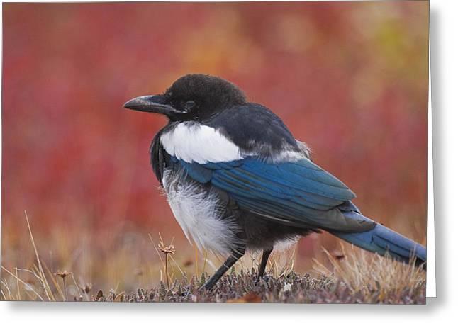 Black-billed Magpie Greeting Cards - Close Up View Of A Black-billed Magpie Greeting Card by Lynn Wegener