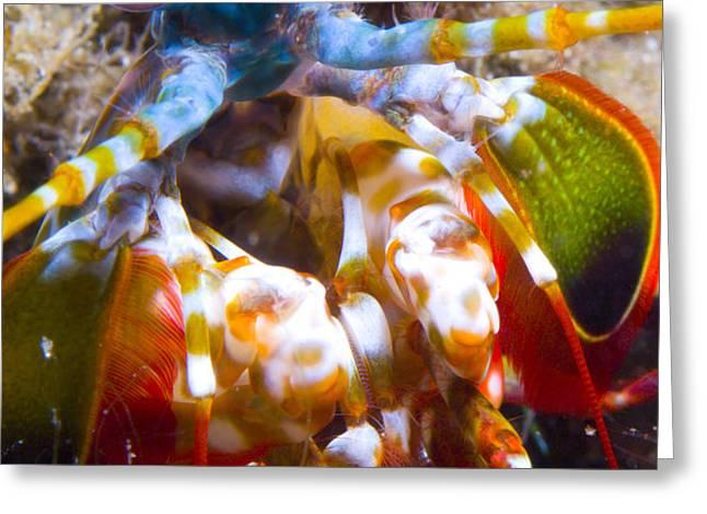 Close-up View Of A Mantis Shrimp Greeting Card by Steve Jones