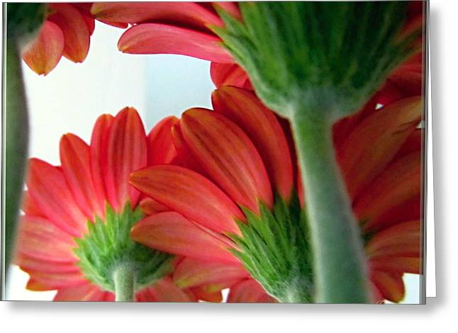 Close View From Under The Red Daisies Greeting Card by Danielle  Parent