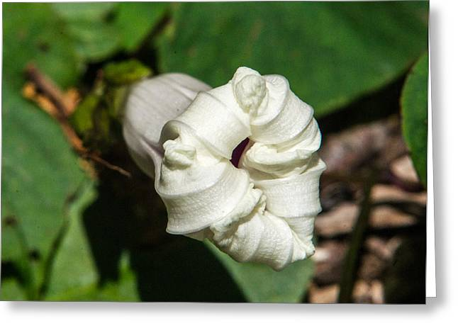 Tendrils Greeting Cards - Closed Morning Glory Greeting Card by Douglas Barnett