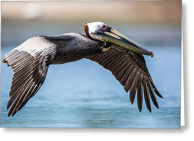 Wings Greeting Cards - Closeup of a Flying Brown Pelican Greeting Card by Andres Leon