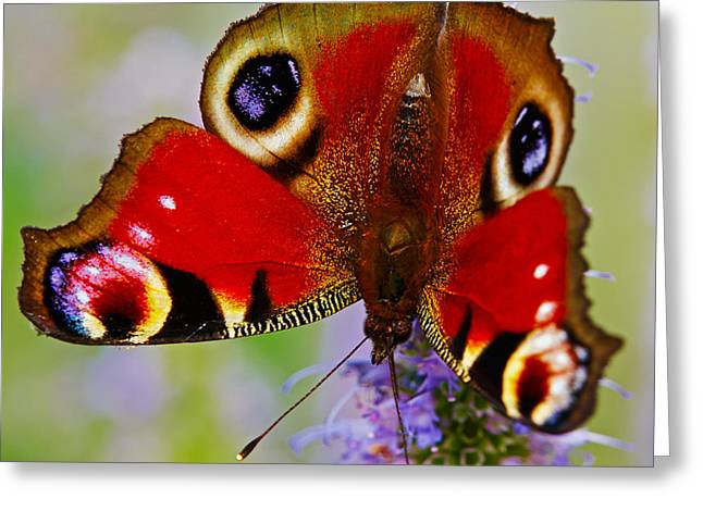 Closeup Of An European Peacock Butterfly  Greeting Card by Nick  Biemans