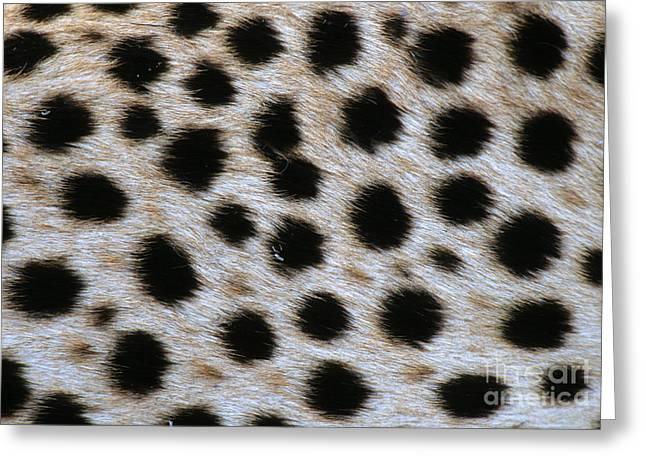 Closeup Of Cheetah Greeting Card by William H. Mullins