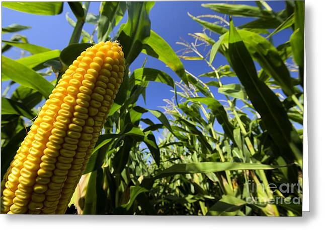 Photo Image Greeting Cards - Closeup of corn in corn field Greeting Card by Photo Image