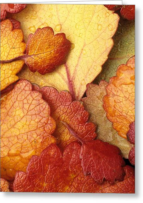 Beautiful Creek Greeting Cards - Closeup Of Dwarf Birch Leaves Autumn Ar Greeting Card by Jim Barr