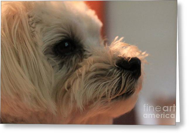 Toy Maltese Photographs Greeting Cards - Closeup of Misu the Maltese Greeting Card by Jennifer Doll