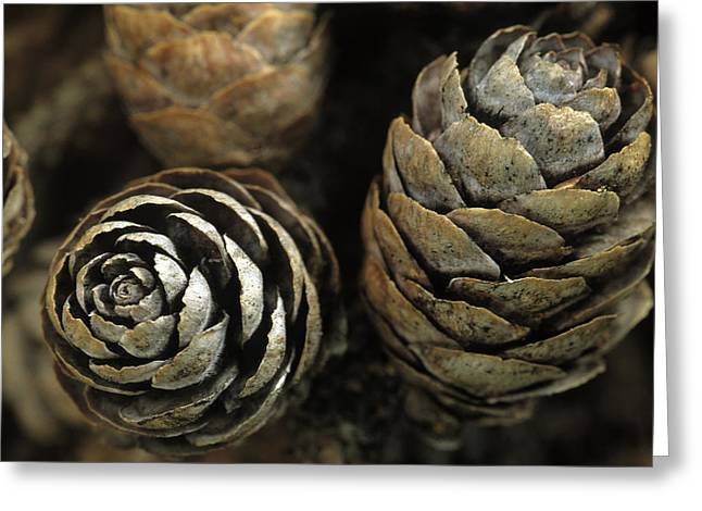 Spruce Cone Greeting Cards - Closeup Of Weathered Black Spruce Cones Greeting Card by Jim Barr