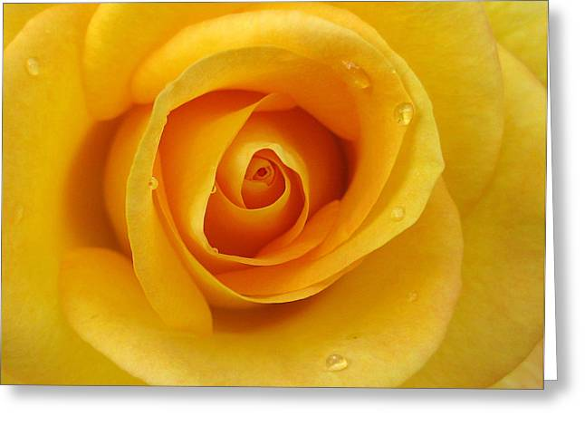 Recently Sold -  - Botany Greeting Cards - Closeup of Yellow Rose with water droplets Greeting Card by Jacqui Martin