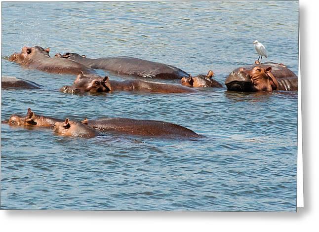 Geobob Greeting Cards - Closeups Hippos Hippopotamus amphibius and Water Bird Murchison Falls National Park Uganda Africa Greeting Card by Robert Ford