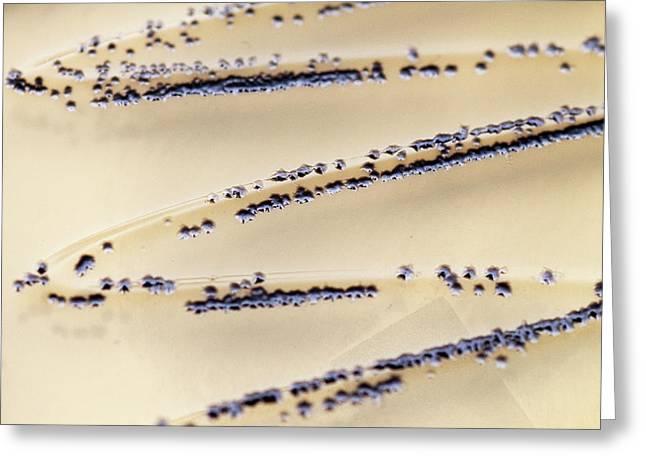 Clostridium Difficile Bacteria Culture Greeting Card by Daniela Beckmann
