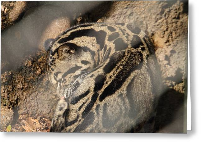 Leopard Photographs Greeting Cards - Clouded Leopard - National Zoo - 01133 Greeting Card by DC Photographer