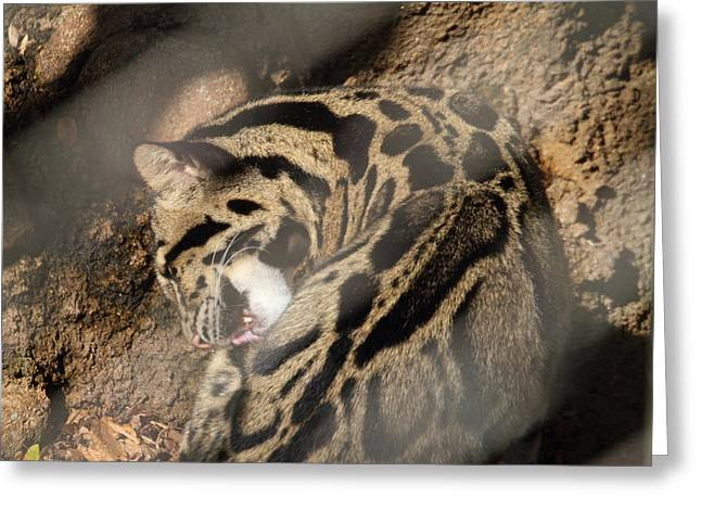 Clouded Leopard - National Zoo - 01134 Greeting Card by DC Photographer