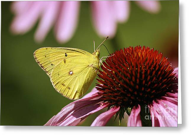 Clouded Sulphur Greeting Card by Cindi Ressler