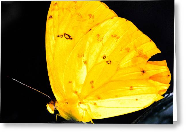 Greek Butterflies Greeting Cards - Cloudless Sulphur Butterfly Greeting Card by Optical Playground By MP Ray