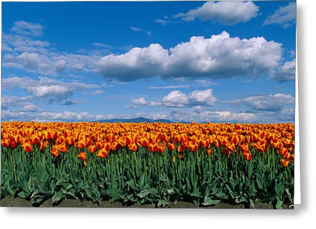 Skagit Valley Greeting Cards - Clouds Over A Tulip Field, Skagit Greeting Card by Panoramic Images