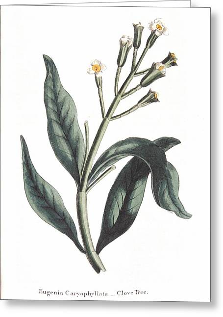 1700s Greeting Cards - Clove Eugenia Aromatica Greeting Card by Anonymous