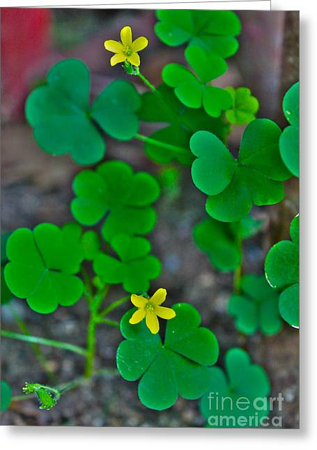 Corymbosa Greeting Cards - Clover Greeting Card by Claudia Mottram