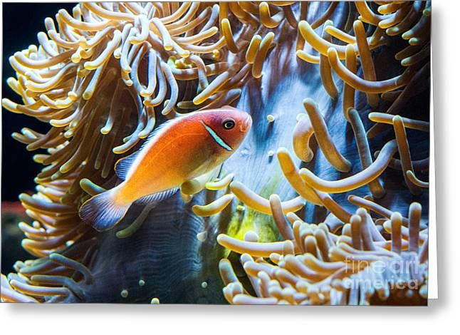 Clown Fish Photographs Greeting Cards - Clown Fish - Anemonefish swimming along a large anemone Amphiprion Greeting Card by Jamie Pham