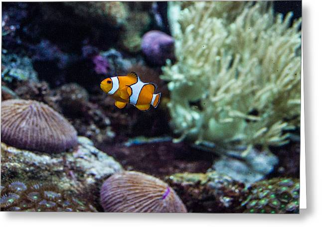 Tennessee Aquarium Greeting Cards - Clownfish 1 Greeting Card by Douglas Barnett