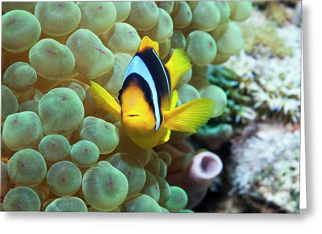 Clownfish In Anemone Greeting Card by Georgette Douwma