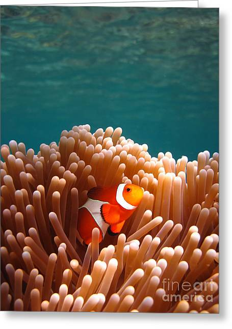 Nemo Greeting Cards - Clownfish in Coral garden Greeting Card by Fototrav Print