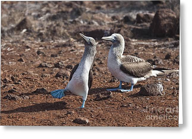 Brown Booby Greeting Cards - Clowning Around Greeting Card by Timothy Hacker