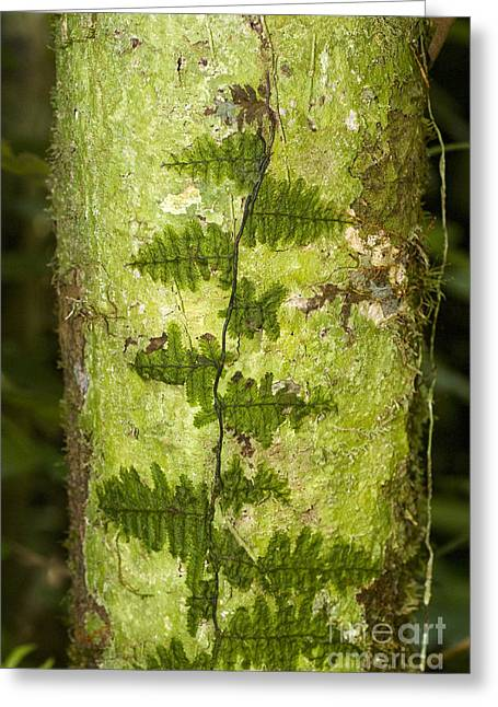Peruvian Bark Greeting Cards - Clubmoss Greeting Card by William H. Mullins