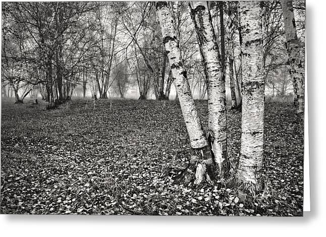 Autumn In The Country Greeting Cards - Clumping Birch Trees And Fog Greeting Card by Theresa Tahara
