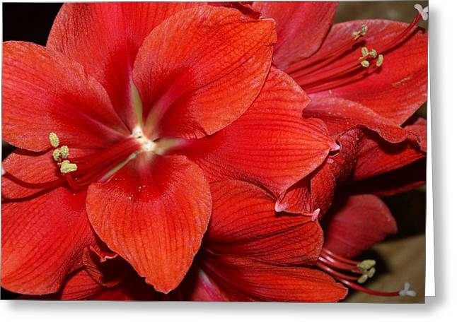 Bouquet Amaryllis Greeting Cards - Cluster of Color Greeting Card by Mary Brotherton