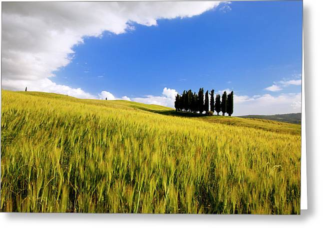 Cluster Of Cypress Trees Near San Greeting Card by Brian Jannsen