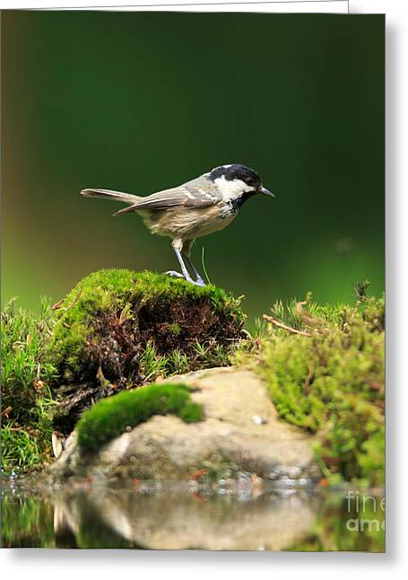 Back Yard Birds Greeting Cards - Coal Tit Parus ater Greeting Card by Louise Heusinkveld
