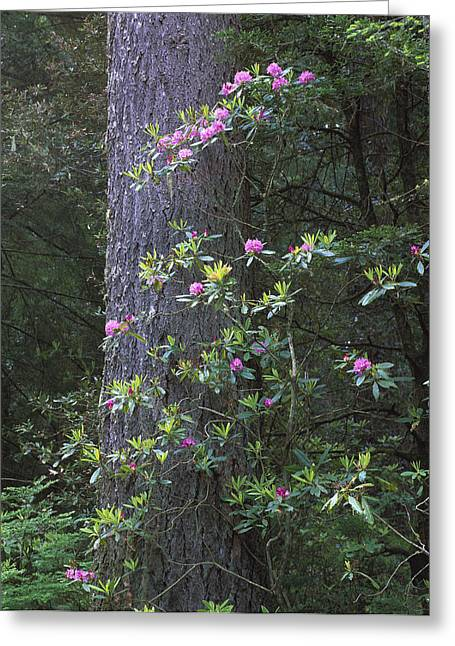 Species: S. Sempervirens Greeting Cards - Coast Redwood And Rhododendron Redwood Greeting Card by Tim Fitzharris