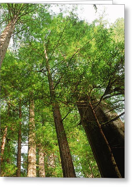 Tall Trees Greeting Cards - Coast Redwood Sequoia Sempivirens Trees Greeting Card by Panoramic Images