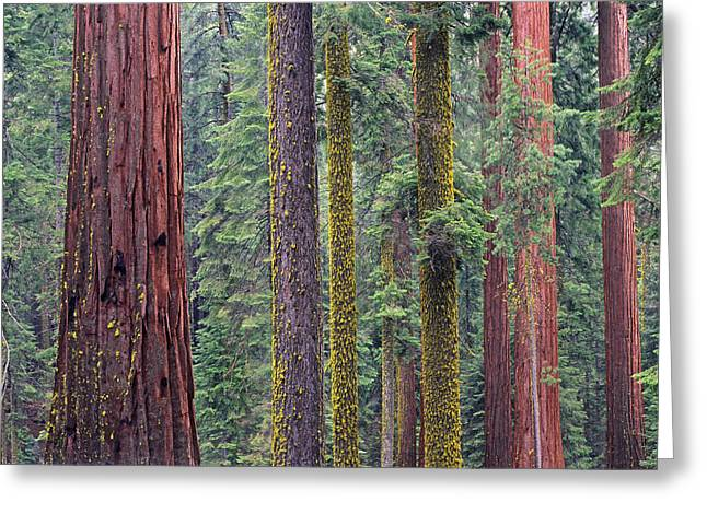 Species: S. Sempervirens Greeting Cards - Coast Redwoods In Mariposa Grove Greeting Card by Tim Fitzharris