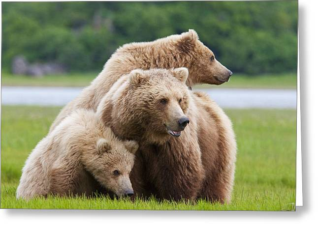 Alert Bay Greeting Cards - Coastal Brown Bear Sow With Her Two Greeting Card by Kent Fredriksson
