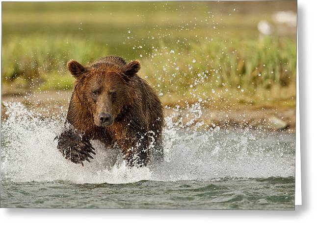 Dexterity Greeting Cards - Coastal Grizzly Boar Fishing At Greeting Card by Kent Fredriksson