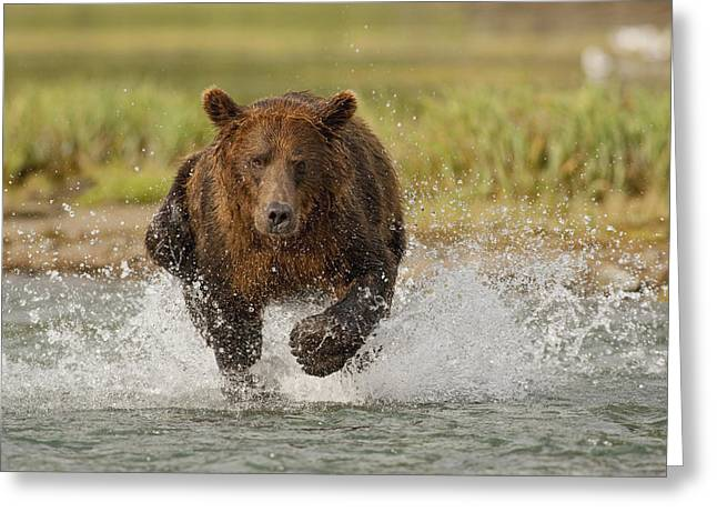 Dexterity Greeting Cards - Coastal Grizzly Boar Fishing Greeting Card by Kent Fredriksson