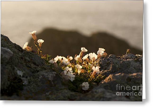 Close Focus Floral Greeting Cards - Coastal Sea Campion Greeting Card by Anne Gilbert