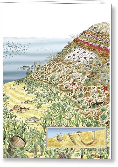 Cerastoderma Greeting Cards - Coastal Wildlife, Artwork Greeting Card by Luis Montanya/marta Montanya/sciencephotolibrary