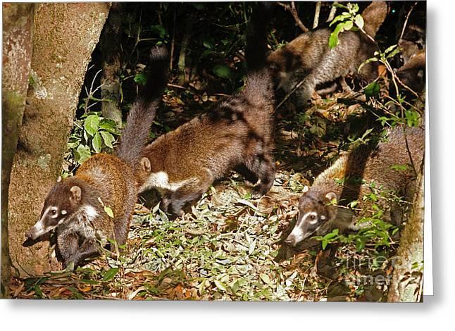 Rincon Greeting Cards - coati at Rincon de la Vieja volcano Costa Rica Greeting Card by Rudi Prott