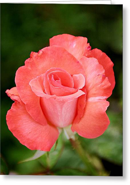 Close Ups Greeting Cards - Cobra Rose  Greeting Card by Christine Till