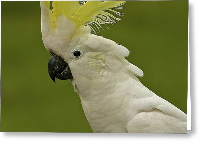 Cockatoo Portrait 1 Greeting Card by Heng Tan