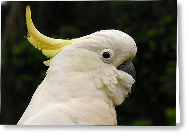 Pretty Cockatoo Greeting Cards - Cockatoo Portrait Greeting Card by Andrew Periam