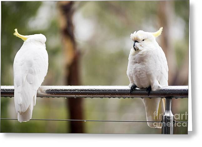 Pretty Cockatoo Greeting Cards - Cockatoos In Rain Greeting Card by Tim Hester